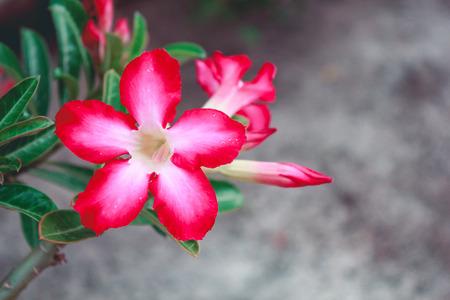 beautiful fresh red Azalea flowers in the garden.