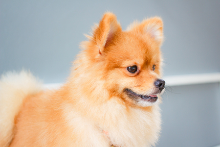 Pomeranian dog smile so cute, beautiful Pomeranian dog.