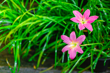 Pink flower, Zephyranthes grandiflora, lily flower on nature background. Stock Photo