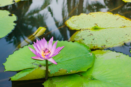 Beautiful pink lotus flower with green leaf in Thailand.