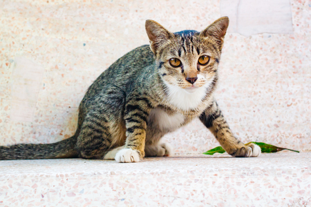 Cute tabby kitten relaxing on table, Thai cat. Banco de Imagens