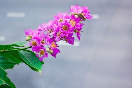 Inthanin, Queens flower, large tree with beautiful purple flowers and hard shell brown seeds.