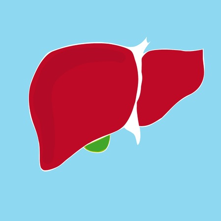 common bile duct: Simple vector illustration of human liver Illustration