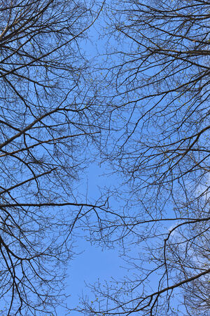 Silhouette of branches of a tree on background blue sky. Can be used as a background. photo