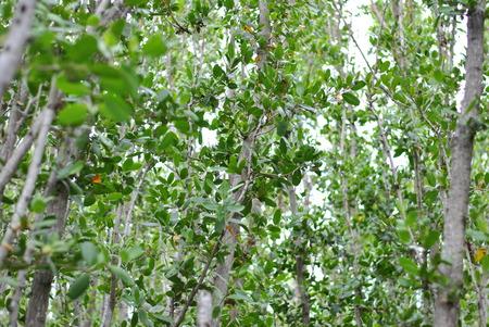 mangrove leaves 版權商用圖片