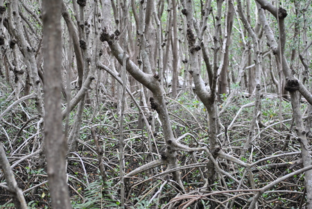 mangrove prop roots