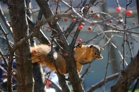Squirrel in a tree reaching for a berry. photo