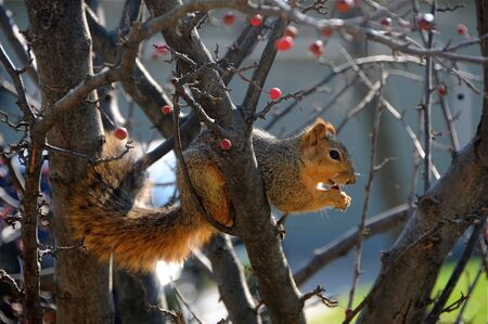 Squirrel sitting in a tree eating a berry.  photo