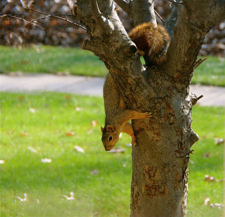 fluffy tuft: Squirrel climbing down from a tree. Stock Photo