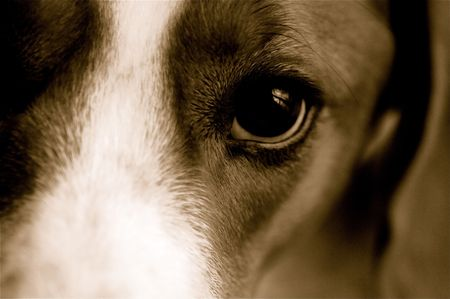 Close-up of a beagle.