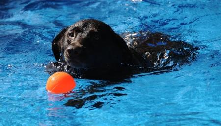 Hond zwemmen op een warme zomerse dag. Stockfoto
