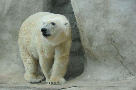 A beautiful polar bear. photo