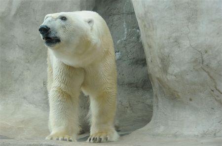 A large polar bear in his habitat. photo