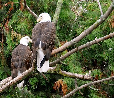 Two majestic bald eagles. photo