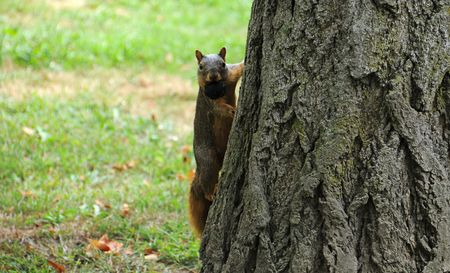 fluffy tuft: A cute squirrel is looking right at you with a nut in his mouth. Stock Photo