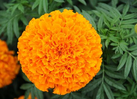 A beautiful orange chrysanthemum in full bloom in summer.