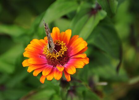 A Painted Lady butterfly is sitting on a Gerber Daisy.
