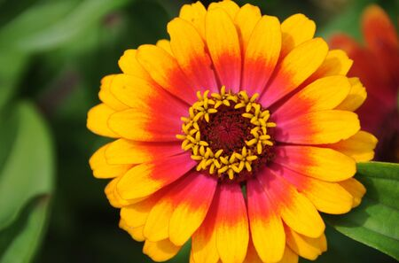 A beautiful yellow and orange gerber daisy in summer time.