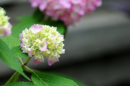 A beautiful white and pink hydrangea in full bloom in spring. 写真素材