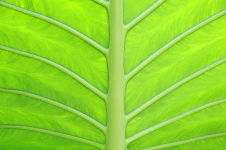 A close up of a beautiful large green leaf that can be used as background. 写真素材