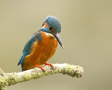 male kingfisher - alcedo atthis Stock Photo - 13004333