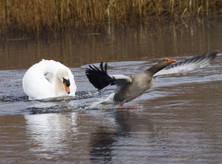 greylag: Greylag v mute swan at Westhay nature reserve, Somerset