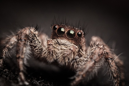 Multiple eyes of a jumping spider photo