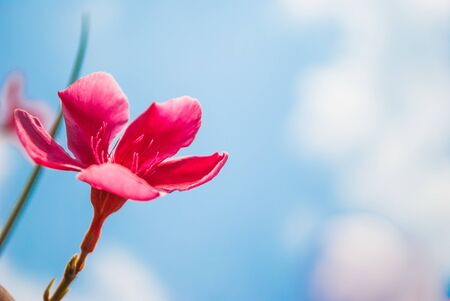 Plumeria flowers, pink flowers on sky with sun background photo