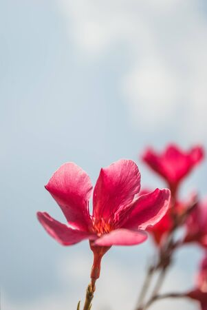 Plumeria flowers, pink flowers on sky background photo