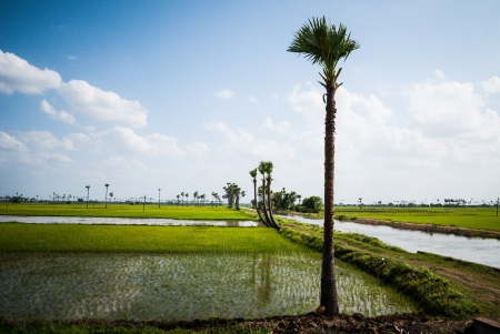 palm trees in paddy fields Stock Photo