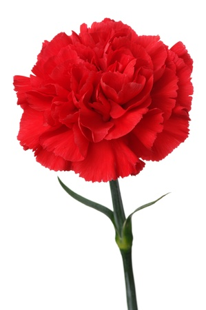 carnation: Red carnation on white background. (vertical)
