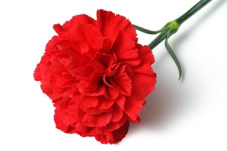 carnations: Red carnation on white background. (horizontal)