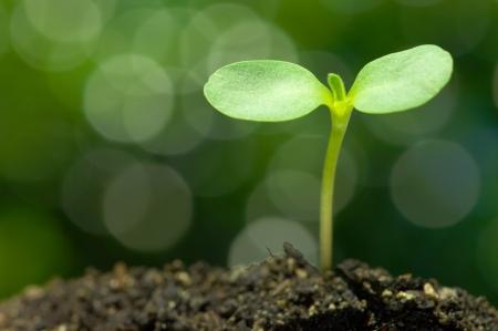 グリーンのボケの背景の水平方向のヒマワリ芽