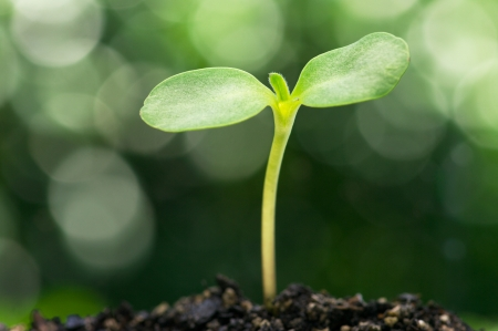the future growth: Sunflower sprout on bokeh background  Stock Photo