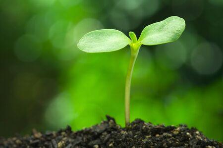 鮮やかなグリーンのボケの背景の水平方向のヒマワリ芽