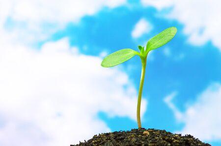 青空の背景の水平方向のヒマワリ芽