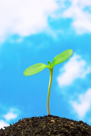 Sunflower sprout on blue sky background  vertical