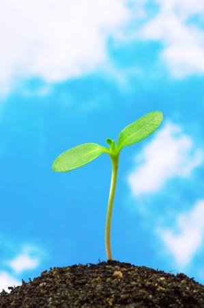 Sunflower sprießen auf blauen Himmel Hintergrund vertikalen