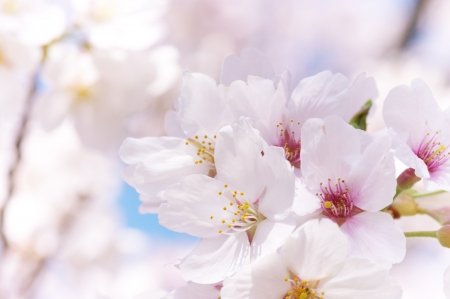 Close up of cherry blossoms. Sakura blossoms in japan.