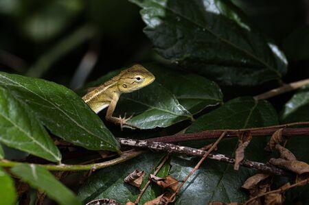 Oriental garden lizard, eastern garden lizard, bloodsucker or changeable lizard Calotes versicolor