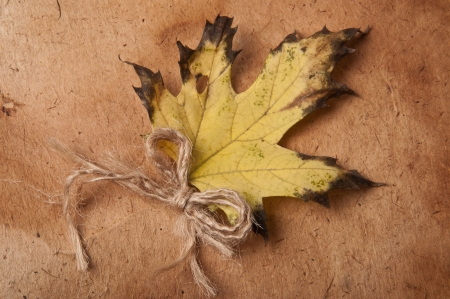 acer platanoides: Yellow maple leaf on the background of old paper