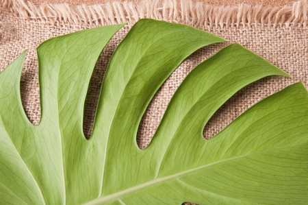 Green leaf of Monstera plant photo