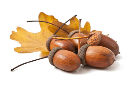 the fruit of oak on white background