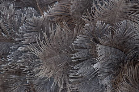 background of ostrich feathers