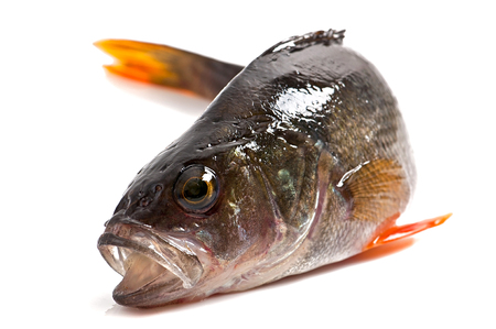 perca: river perch isolated on a white background Stock Photo