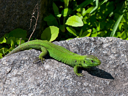 rejections: Green lizard on the stone background. Stock Photo