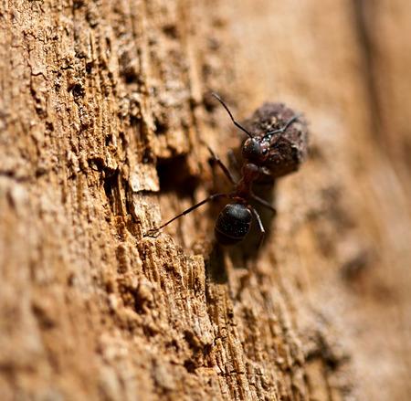 fauna: Insect wood ant at work. Fauna.
