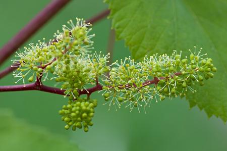 Druiven, bloeiende wijnstok, groene bloemen van de druif, de initiële ontwikkeling van de druiven.
