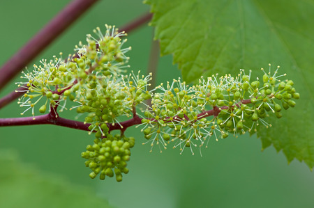 Grapes, flowering vine, green flowers of grape, the initial development of the grapes. Stock Photo