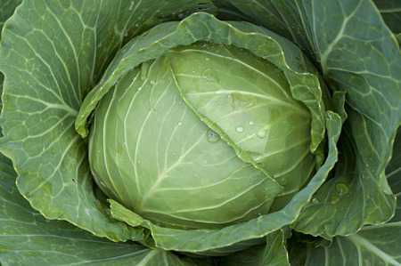 produce departments: Fresh Cabbage, harvested cabbages in the field